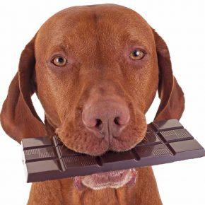 개와 초콜릿