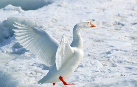 Λευκή αρκτική χήνα