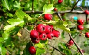 Hawthorn: description, its beneficial properties and contraindications, decoctions and tinctures (20 recipes), preparations for the winter