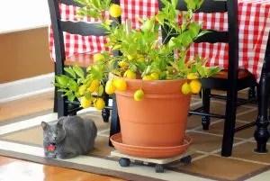 Citron: Description, Soins, Culture osseuse à la maison, Recettes de jus de vitamines et de limonade (photo et vidéo) + critiques