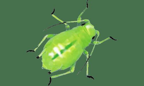 Авокадо: үйде сүйектерден өсіру | (Фото және видео) + пікірлер