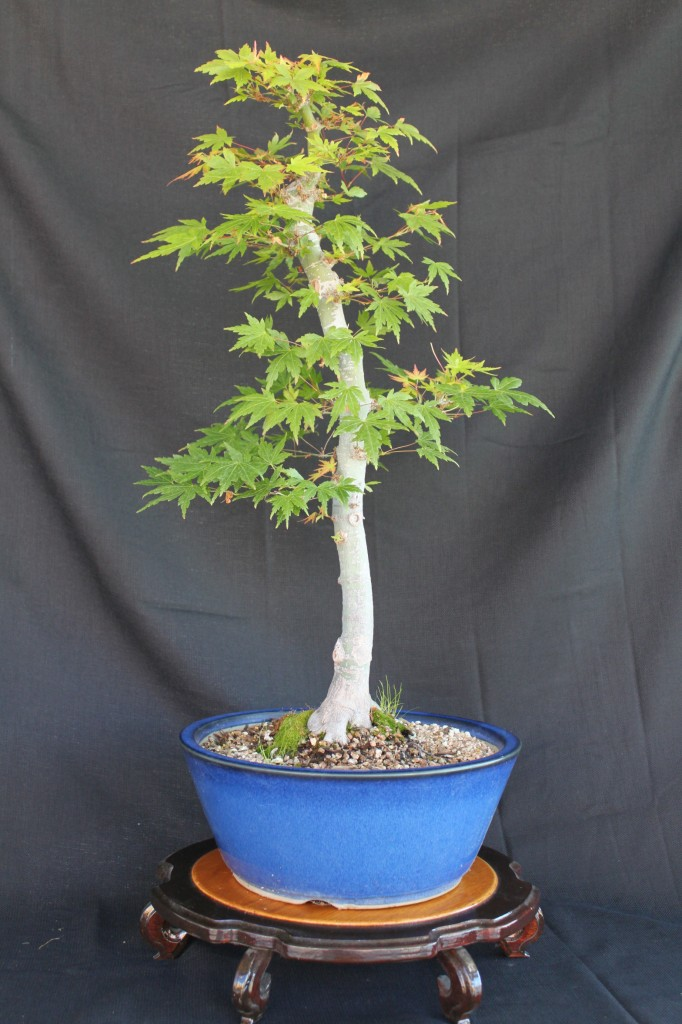 Where Buy Bonsai Trees