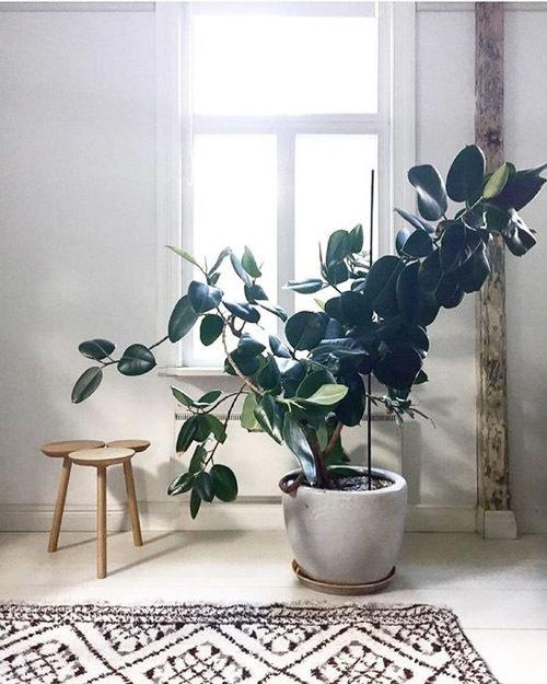 Ficus Rubbing ภาพถ่ายลาสติกส์
