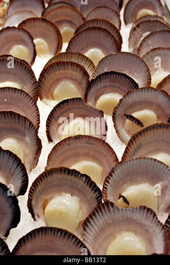 Fresh Boston Bay Mussels