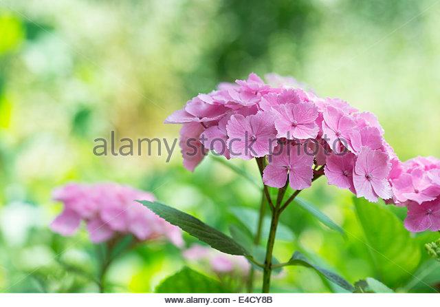 Hydrangea Bailmer Endless Summer