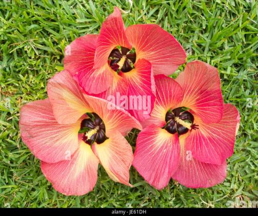 Flowers Hibiscus Tree Stock Photos   Flowers Hibiscus Tree Stock     Hibiscus tiliaceus tree flowers    Stock Image