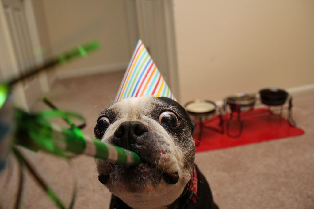 A Boston Terrier Birthday Photo That You Must See