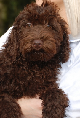 Available Chocolate Australian Labradoodle Male Manor
