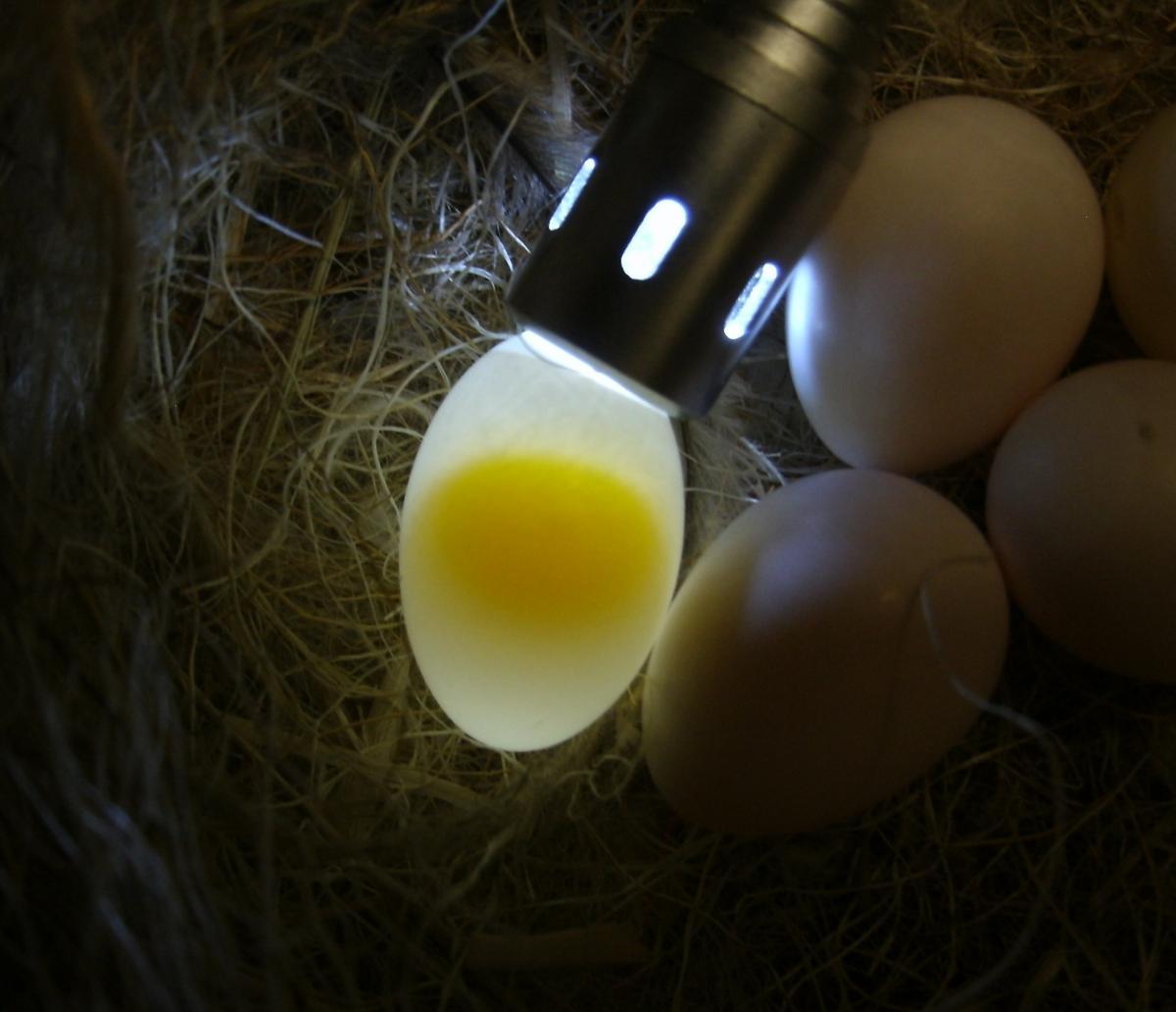 How Does Bird Egg Get Fertilized