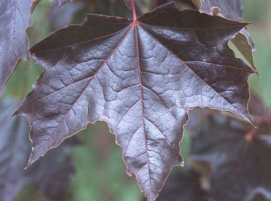 Leaf Identification Red Trees