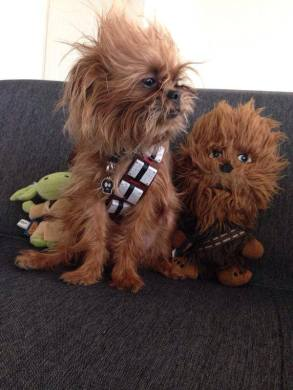 Adorable Dog Dressed Up as Chewbacca Wins Third Place in Petco     Carmen Soto recently entered an image of her adorable dog dressed up as  Chewbacca in a Star Wars photo contest held by Petco M    xico on Facebook and  won
