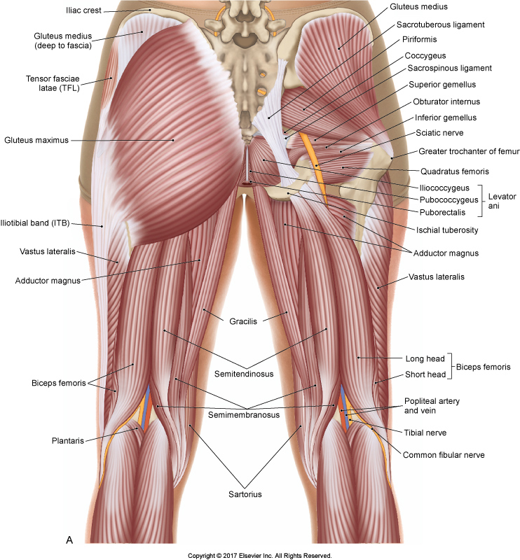 Skeletal Muscle Diagram Hip