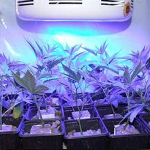 Blue Grow Light Bulbs