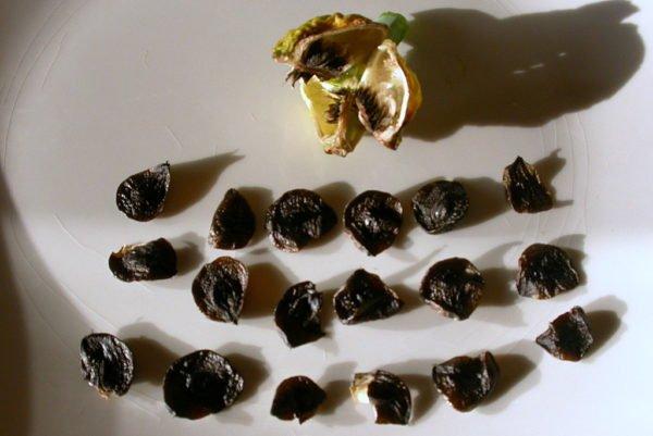 Semințe de hippeastruma.