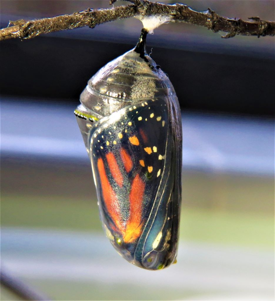 The Remarkable Birth Of A Monarch Butterfly Lemon Bay