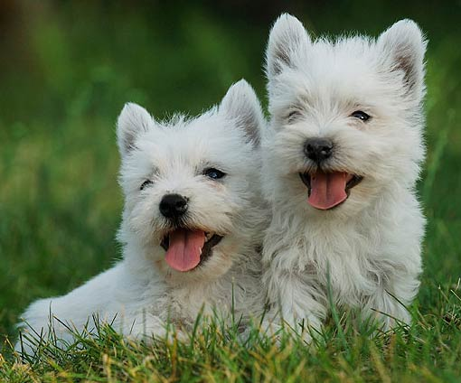 white west highland terrier | Just My Thoughts - Leneiva ...
