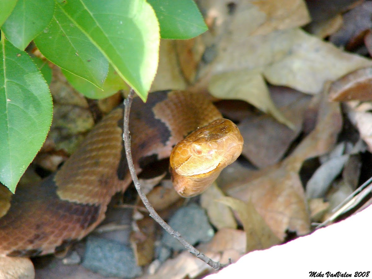 northern copperhead map - HD1200×900