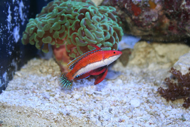 Longfin Fairy Wrasse Reef Central Online Community