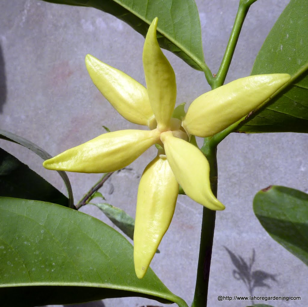 Top 25 fragrant perennials for lahore Ylang Ylang vine