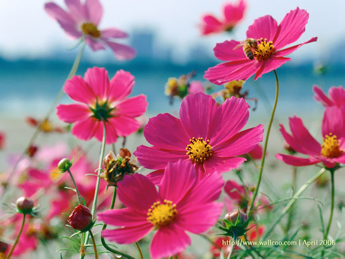 Cosmos flowers in South Africa