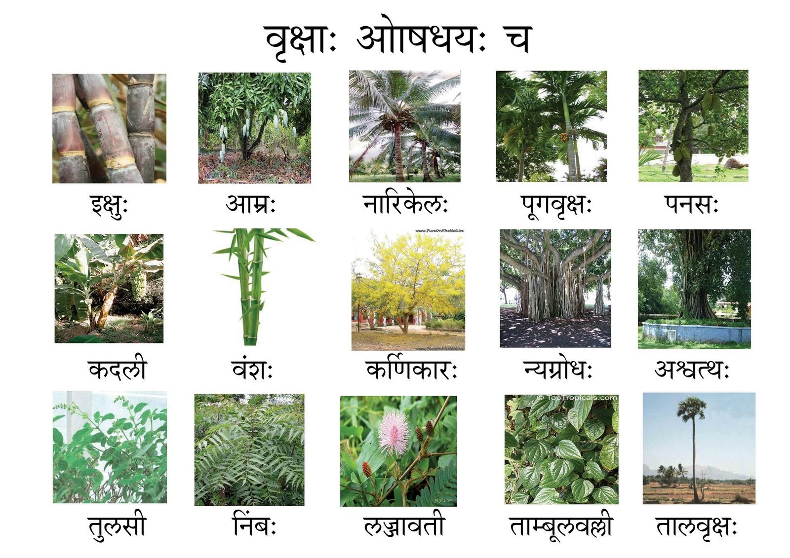 संस्कृतसंजीवनी: TREES NAMES IN SANSKRIT