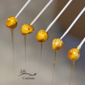 Candied Hazelnuts drying