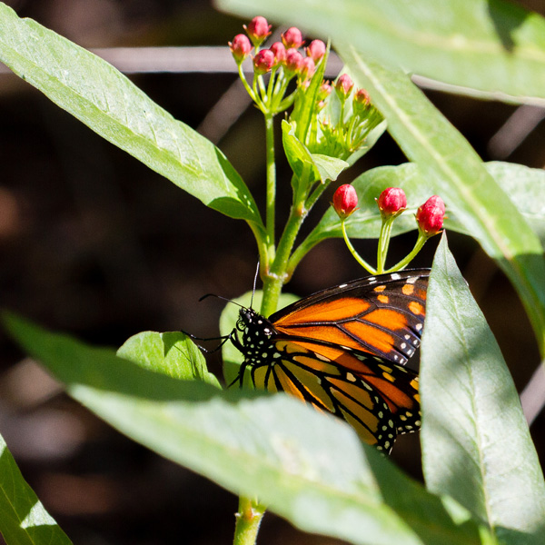 a monarch butterfly in milkweed plants spotted while backyard birding