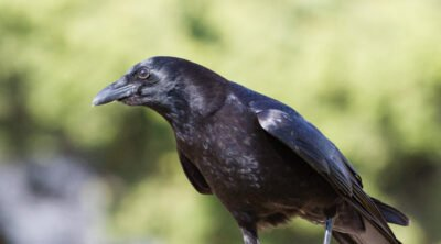 A crow on a wall that I saw while backyard birding