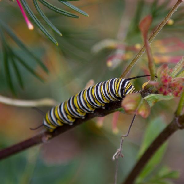 a monarch caterpillar on milkweed plants