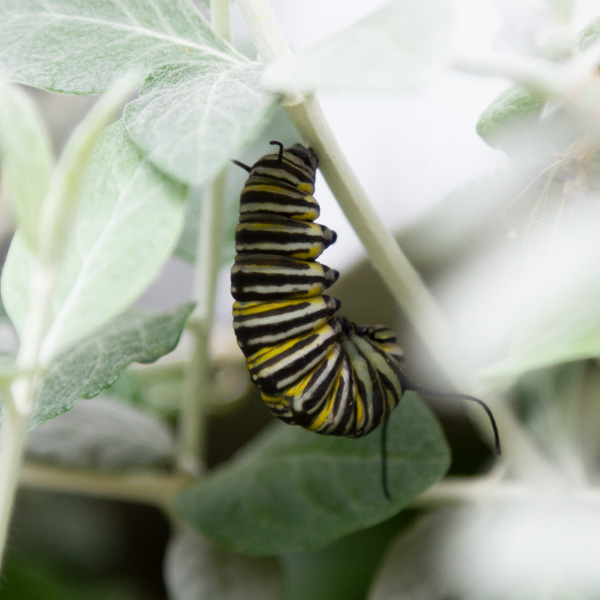 a caterpillar formed into a J shape about to change into a chrysalis.