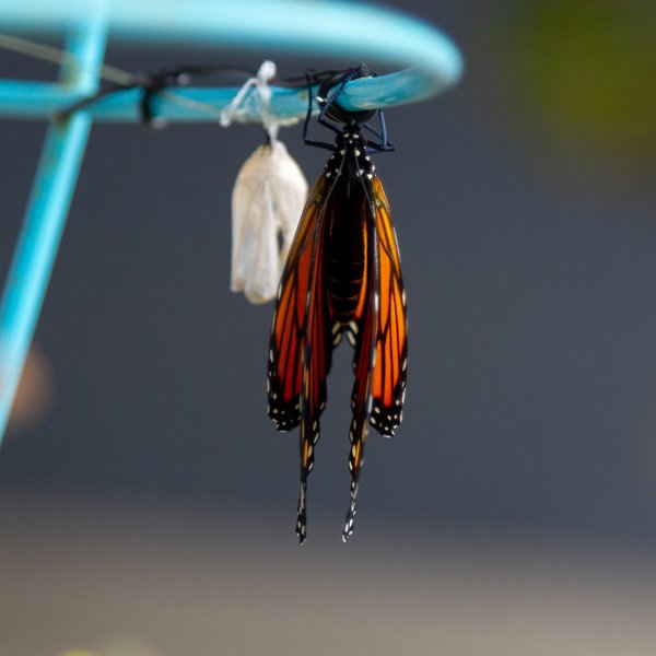 a butterfly from the top with her wings closed, an empty chrysalis is behind her.
