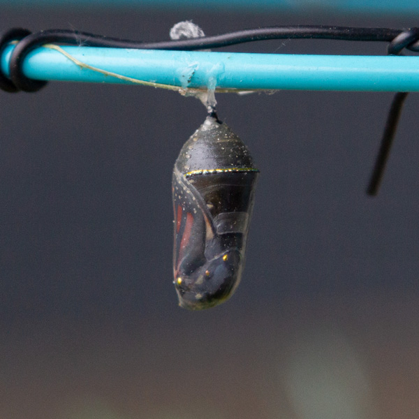 the chrysalis has become transparent and you can see the butterfly inside.