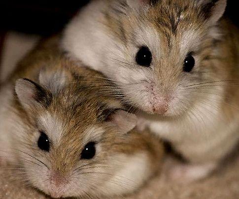 Hamster födseln: Hur man agerar under förlossning och efter