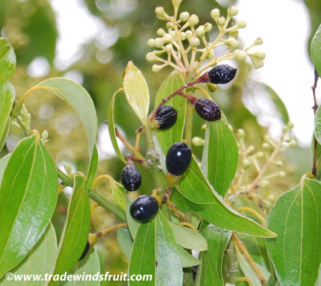 Cinnamon Tree – Bible Plant   lilianausvat