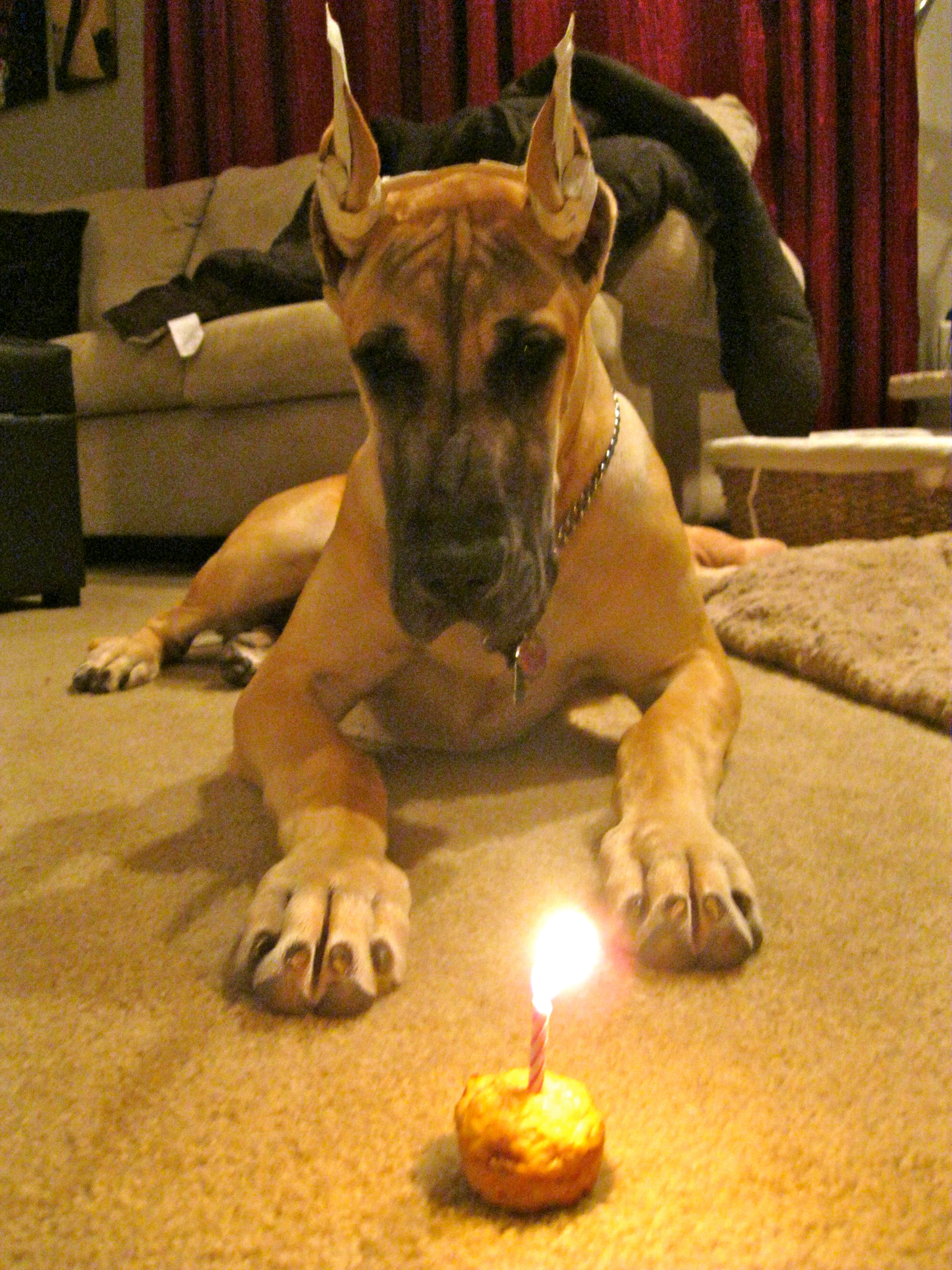 Birthday Cake Life With Lilly A Beautiful Great Dane