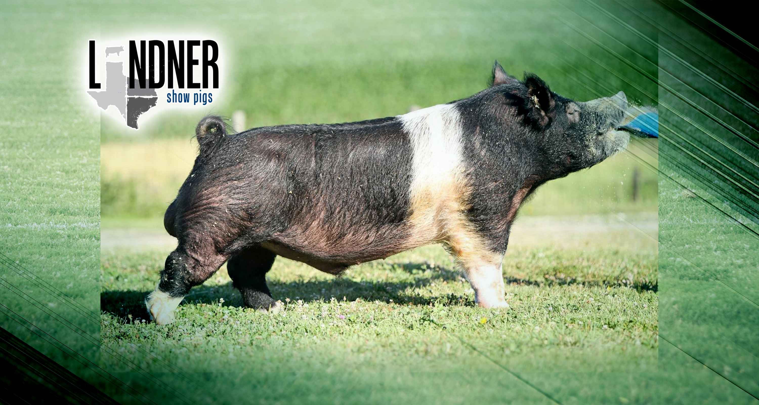 Sires Vendetta Lindner Show Pigs