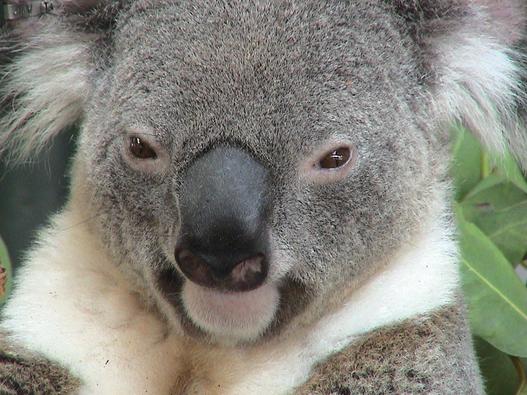 smiling koala picture - HD1024×768