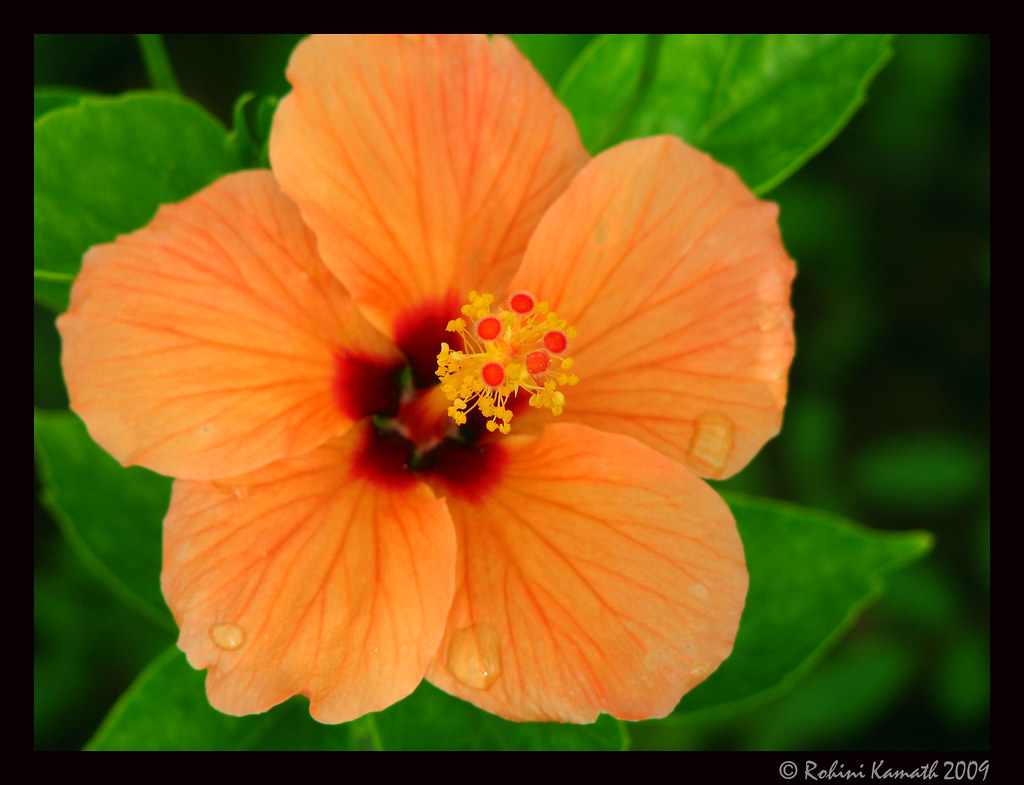 Orange Hibiscus Also Called Shoe Flower Or China Rose