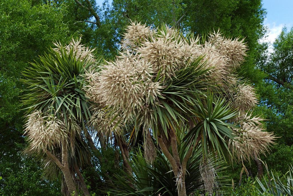 Cordyline Australis Cabbage Tree Nz The Cabbage Tree