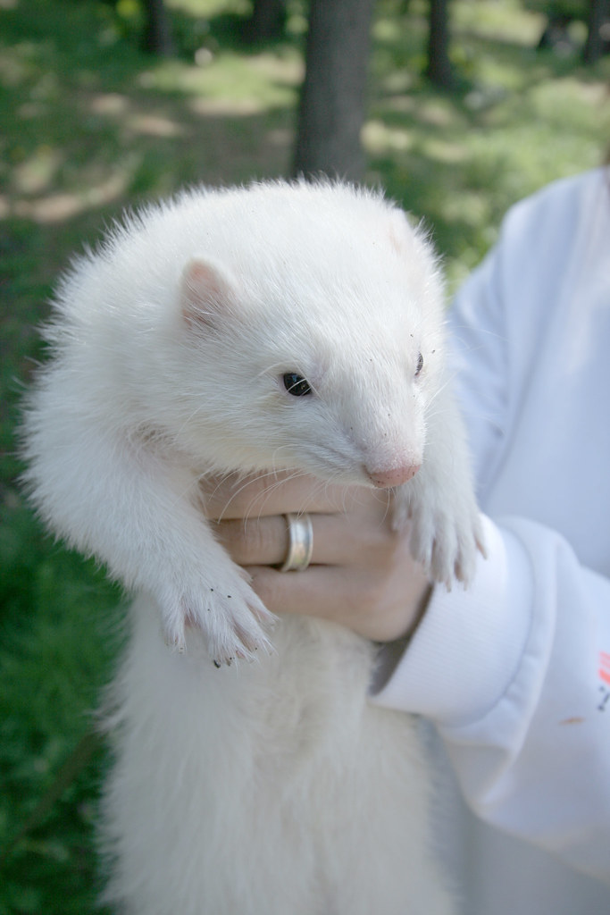 白フェレット Cute White Ferret Daisei Flickr