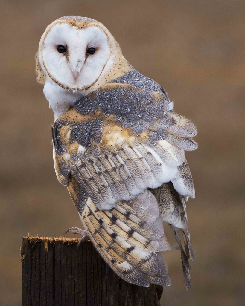 barn owl sounds - HD 819×1024