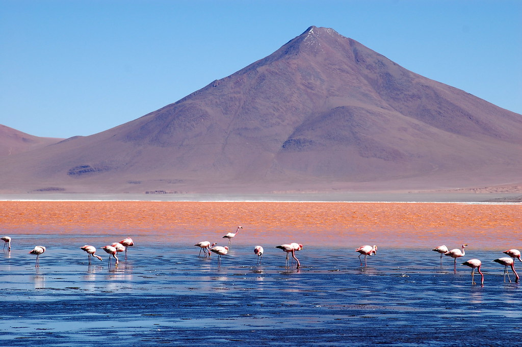 Laguna Colorada Bolivia Chilean Flamingos Feeding