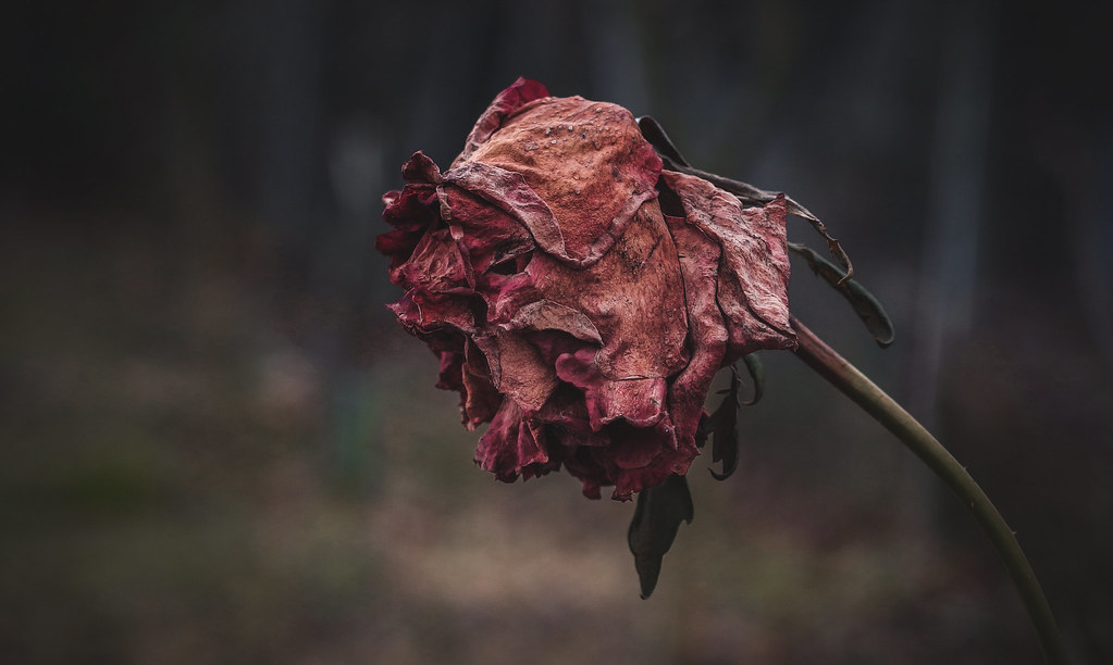 Withered Rose Montillon A Flickr