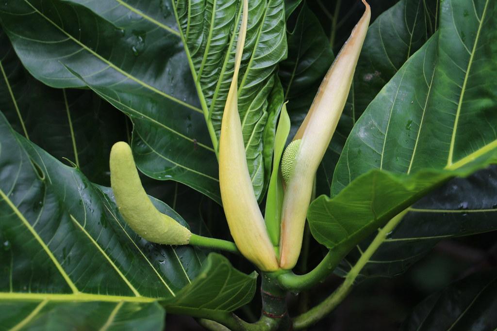 Artocarpus Altilis Male Flower And Fruit Breadfruit