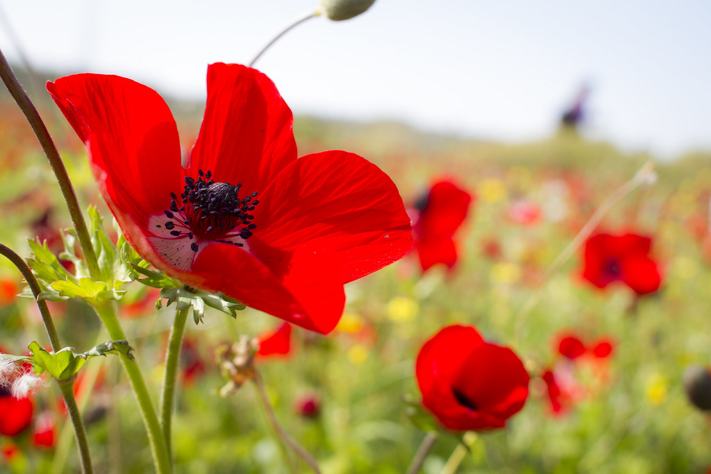 Red South Anemone Coronaria Israel National Flower