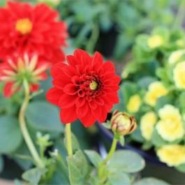Tips for planting flowers in pots! I discovered Monrovia flowers at recent nursery and decided to do some some springtim planting. www.livelaughrowe.com