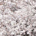 Thumbnail for post: Chelsea flower show news, at peak blossom time in Gyeongsangsam-do