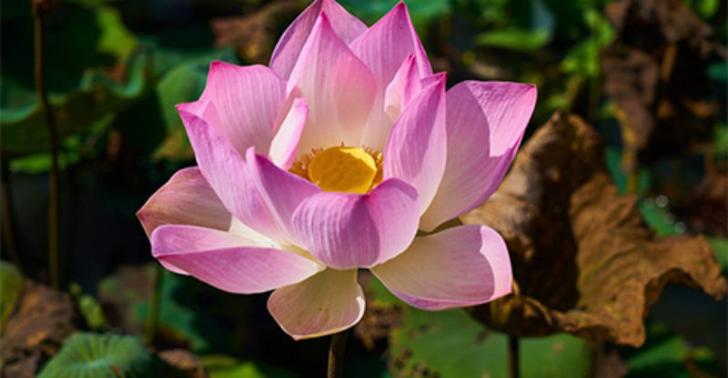 Lotus Flower Meaning   What does the Lotus Flower Mean white lotus flower