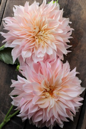 How To  Taking Dahlia Cuttings To Build Your Stock   Love  n Fresh     Cafe au Lait dahlias grown from cuttings at Love  n Fresh Flowers Farm