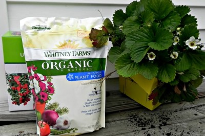 Homegrown Strawberries with Whitney Farms Organic Plant Food